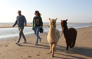alpaca-strandwandeling-1