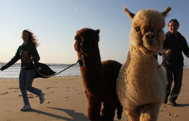 alpaca-strandwandeling-3